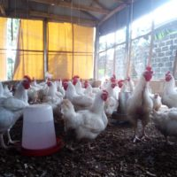 Mature Broilers For Sale!