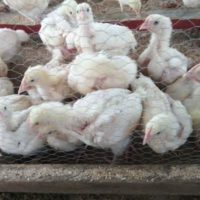 3weeks broilers for sale