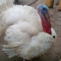 Mature Turkeys for sale... 1 year old