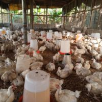 5 weeks Broilers for sale