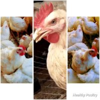 WE SELL LIVE, PROCESSED AND DRESSED CHICKEN at Ver