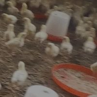 3weeks broiler(agrited) available for sale