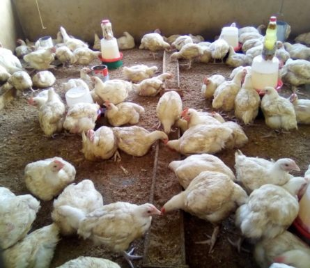 8weeks broilers, 2kg average weight