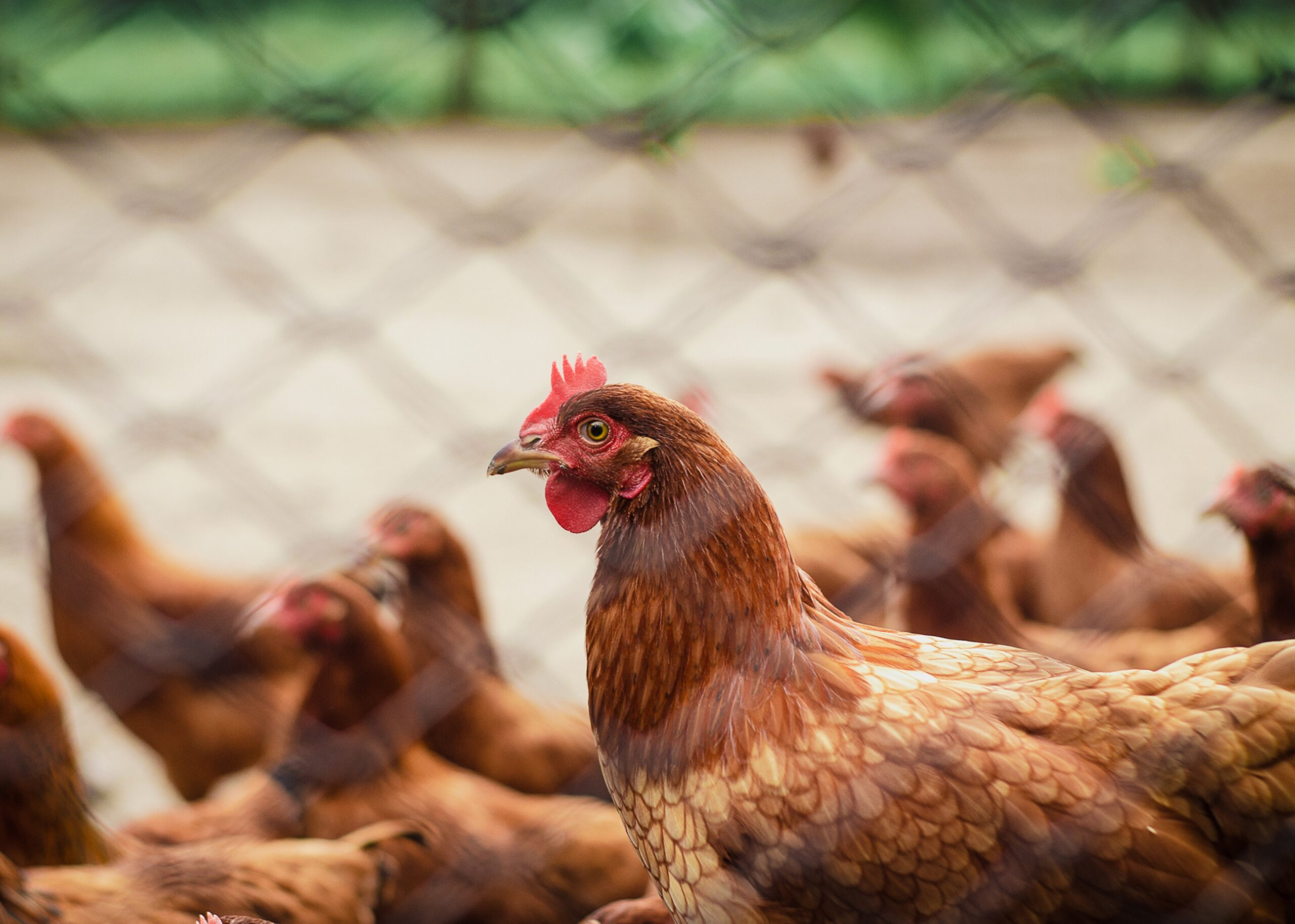 HOW TO MAKE PROFIT IN POULTRY